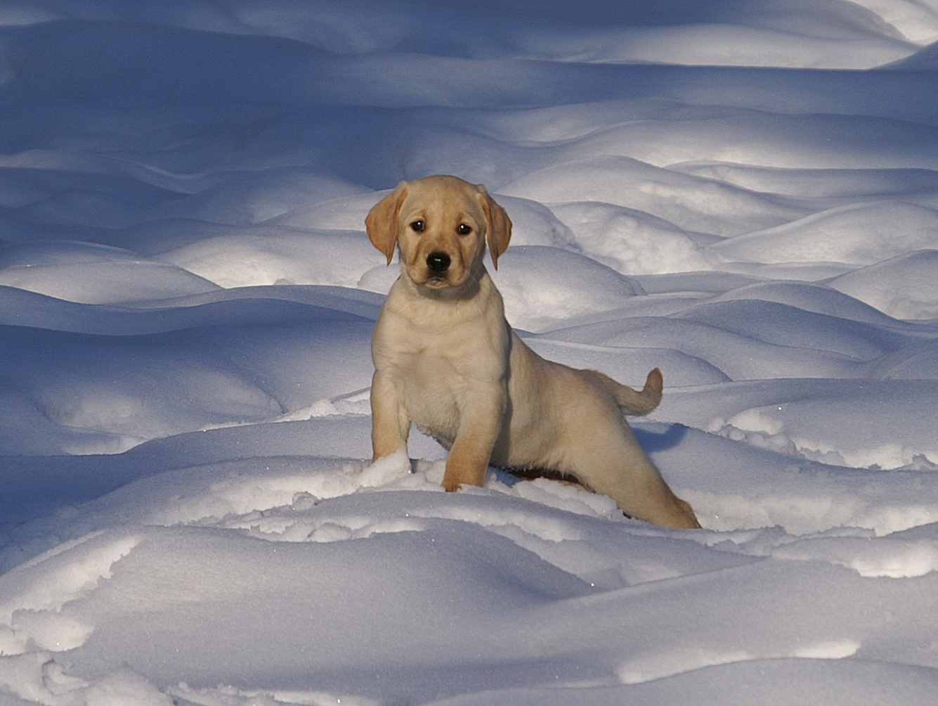 boundary waters labradors in ely minnesota has just