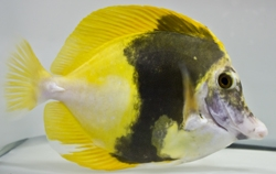 Tropical Fish Wholesaler Sun Pet Ltd. Lands a Great Catch with an Aberrant Scopas Tang