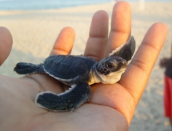 Casa Dorada on the Forefront of Sea Turtle Conservation Efforts in Los Cabos