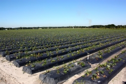 Hillsborough County, FL 504+ Acres of Prime Agricultural Land to be Sold Regardless of Price