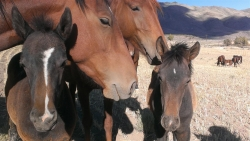 State of Nevada Signs Agreement to Protect Historic Horses of the Virginia Range