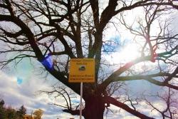 Safari Tree Explores Michigan's Largest Oak Tree