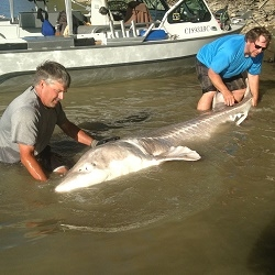800 lb. White Sturgeon Caught on Fraser River, Canada