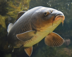 Carpbusters Begins Phase 3 Trials of Eco Carp Product Made with Invasive Species
