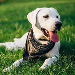 Volunteer Service Dog Raisers Needed for Nonprofit Organization