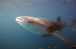 Wave Foundation Supports SRI's Operation Whale Shark