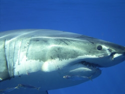 Mexico Passes Shark Finning Ban, New Protections for Great White, Whale and Basking Sharks, Manta Rays