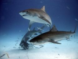 Unprecedented Shark Encounters-Tiger Beach Shark Diving 2007