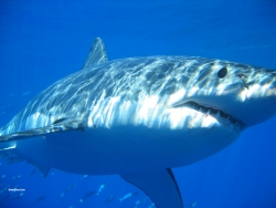 Great White Shark Attack at Isla Guadalupe-Caught on Tape