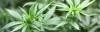 Canada's Leader in Cannabis Genetics Enters Medical Market