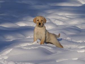 Boundary Waters Labradors