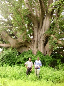 The Mighty African Baobab