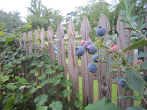 Blueberries by the sidewalk in Chosewood
